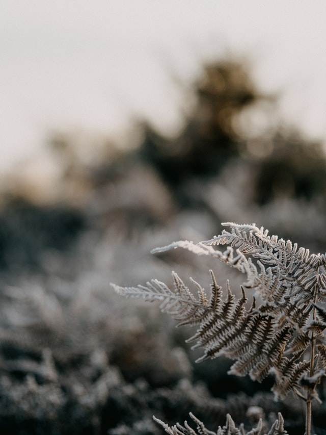 apothecary magicka winter fern in frost